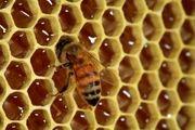 پرورش زنبور عسل در گردنه حیران/ عکس