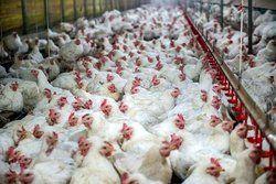 زنگ خطر برای صنعت مرغ