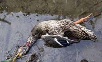 شیوع آنفلونزا در میان پرندگان مهاجر