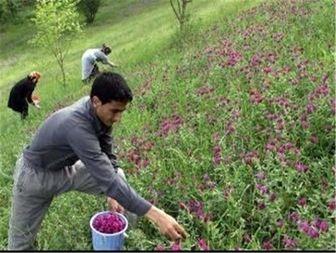 برداشت بیرویه از گیاهان دارویی در لرستان
