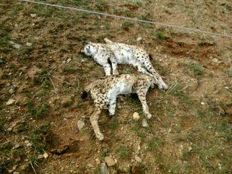 مرگ دو قلاده سیاه گوش نر و ماده+ عکس