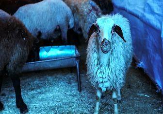 نرخ گوسفند زنده در عید قربان