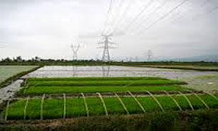 خوزستان سومین قطب تولید برنج کشور