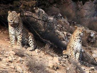 حمله پلنگ ها به دو راس گوساله+عکس
